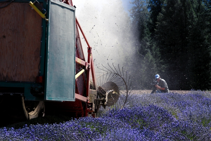 Harvesting lavender at Young Living farm.